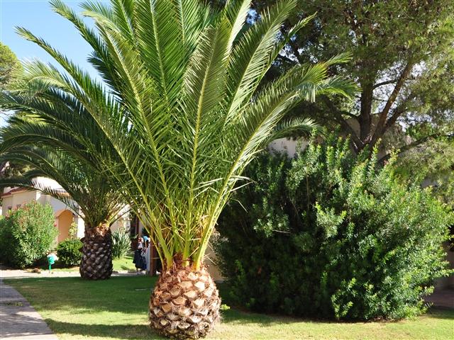 Settimana blu 2010 del g s d basta con gli scherzi for Pianta palma